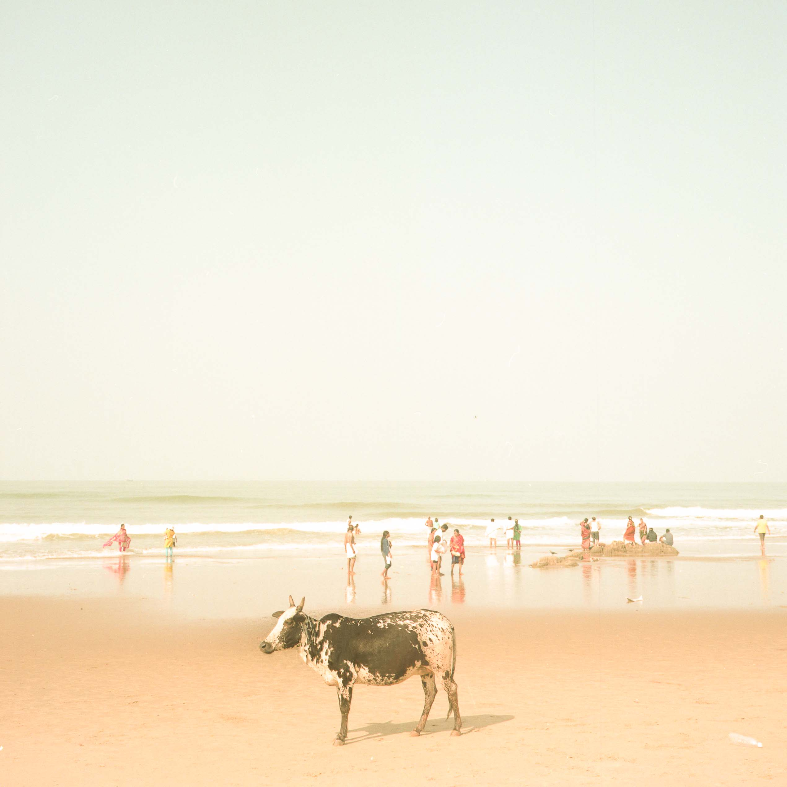 Cow at the beach, Gokarna , India 2018,cow at the beach, India, fine art photograph, seascape, travel photography, fotografo, film photography, raffaele ferrari photography