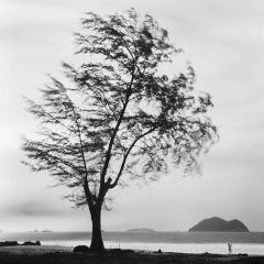 Tree, Songhkla,Thailand