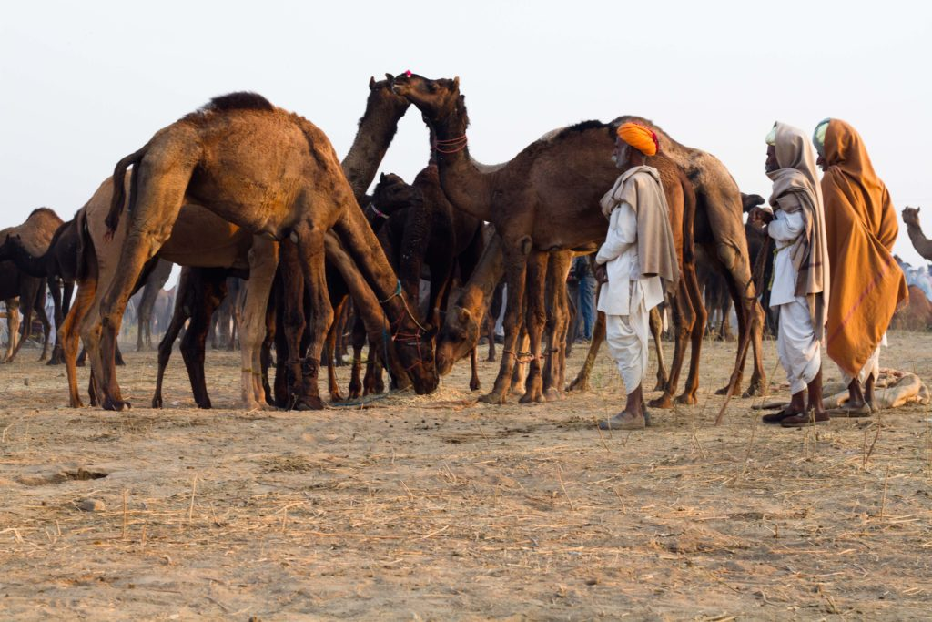 photographing in camel fair
