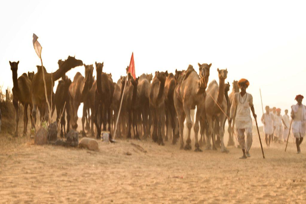 Travel photography Camel Fair